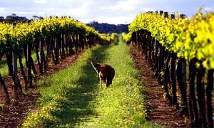 Австралийские виноградники