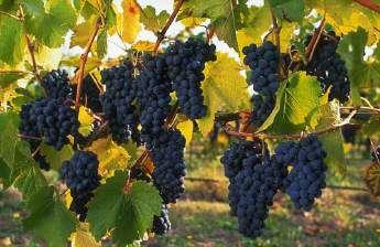 Виноград Шираз