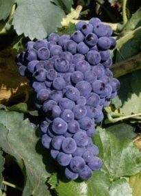 Виноград сорта Гарнача (Гренаш)