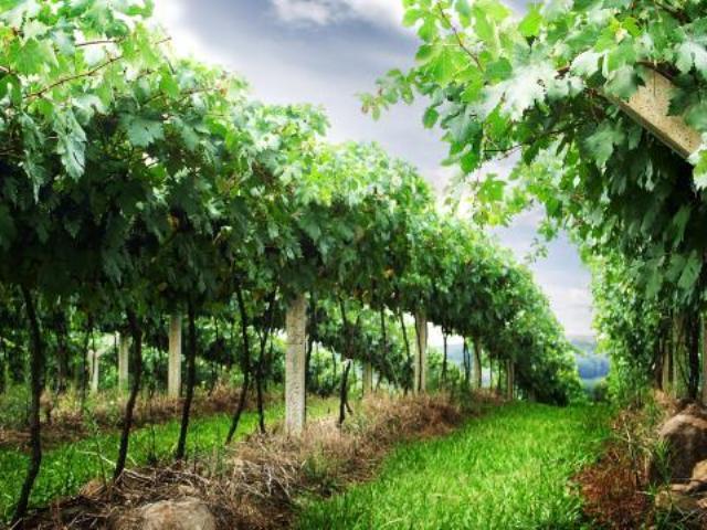 Один из виноградников Фракийской Долины