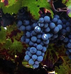 Виноград сорта Pinot Nero