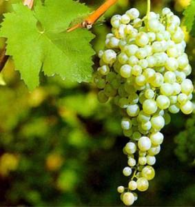 сорт винограда для Prosecco