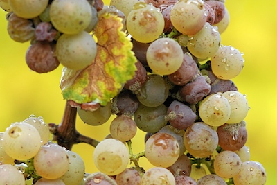Ботритизированный виноград