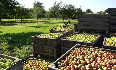 Яблоки для кальвадоса