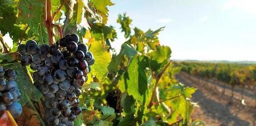 Виноград сорта Гарнача в Наварре