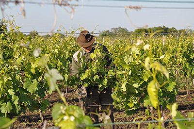 Один из виноградников Kracher