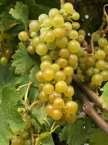 Гроздь винограда Москато Бьянко