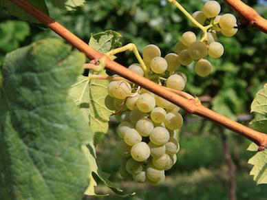 Виноград сорта Welschriesling