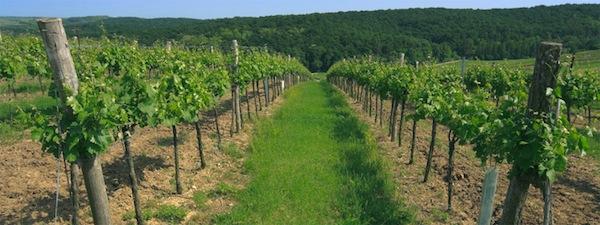 Австрийский виноградник