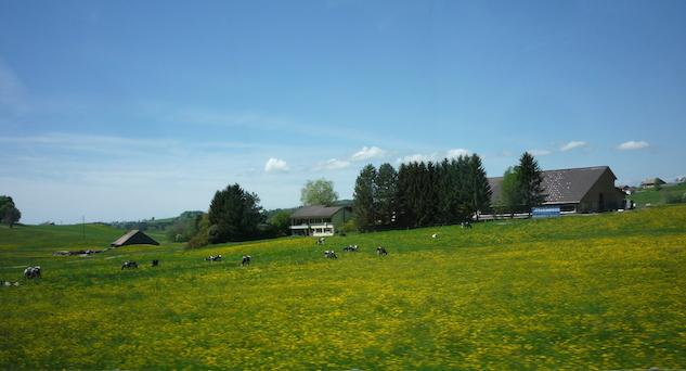 Коровы на швейцарском лугу (1)