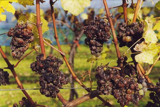 Botrirized_grapes