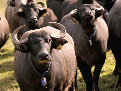 Italian_water_buffalo