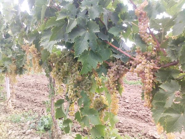 Derb-grapes