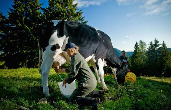 Asiago_milking