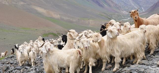 Mongolia-goats