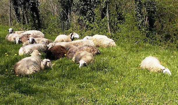 Тосканские овцы