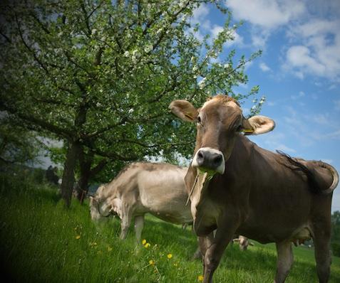 Lustenberger-cows