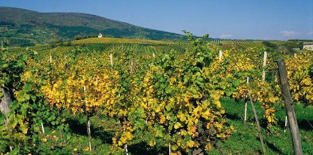 Thermenregion_vineyards