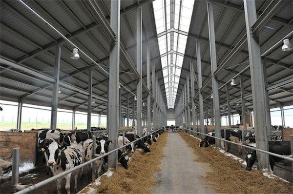 Коровник молочного хозяйства Ужица-агро, принадлежащего маслосырзаводу
