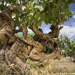 Barossa-old-vine