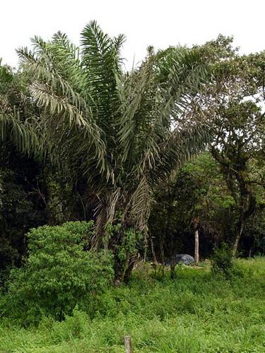 Corozo palm