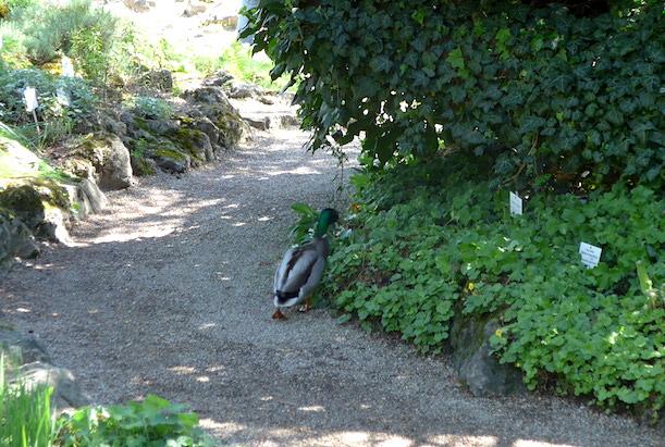 Утка в венском ботаническом саду