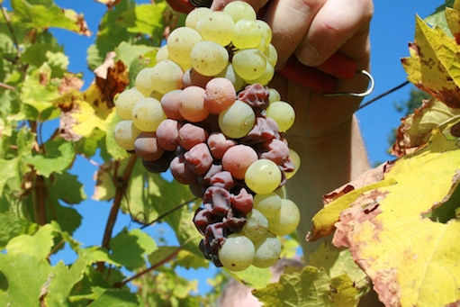 Riesling_botrytis