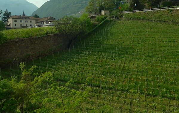 Vineyard-Trentino