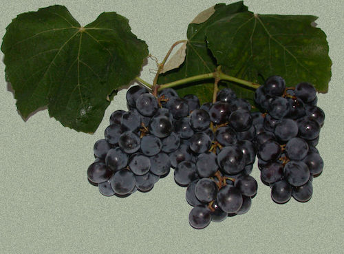 Isabella-grapes