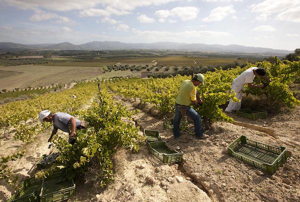 Argiolas-wine-harvesting