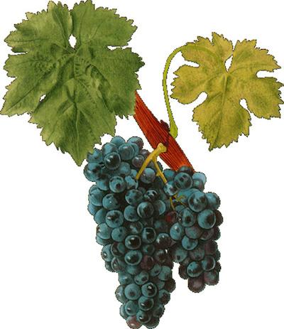 Виноград сорта Кариньяно