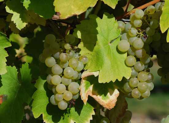 Folle Blanche - grapes