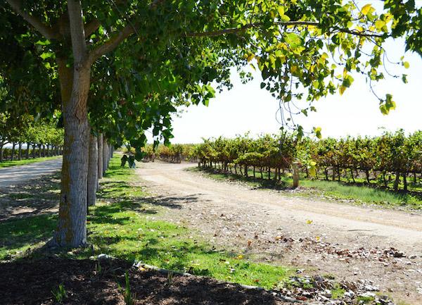 Angas vineyard - Heartland