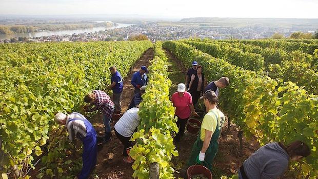 Виноградник хозяйства Strub