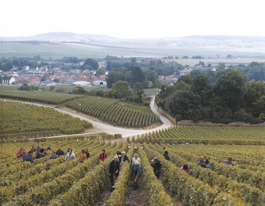 Виноградники в Шампани - Taittinger