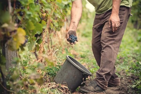 виноградник Nederburg ЮАР