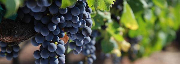 виноград Негроамаро