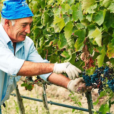 Tormaresca на винограднике