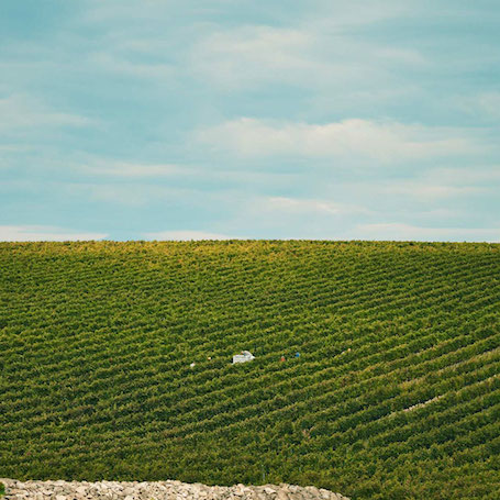 Tormaresca виноградник