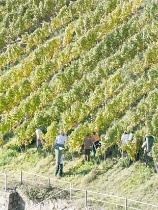 виноградник в Мозеле
