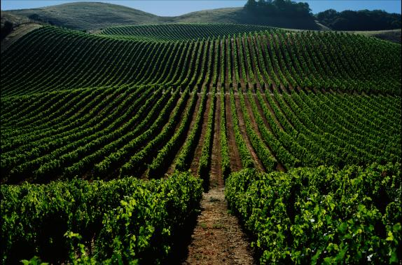 Один из виноградников Kendall-Jackson