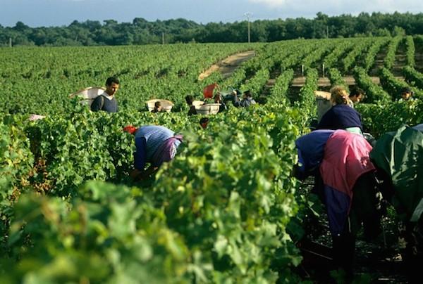 сбор винограда в Бордо