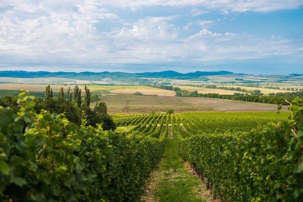 виноградник недалеко от Анапы