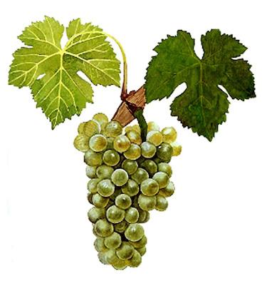 сорт винограда Вионье
