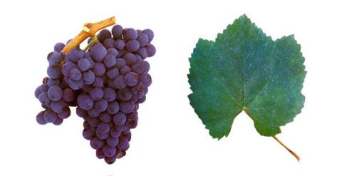 португальские сорта винограда