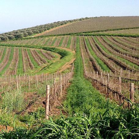 ЮАР виноградник Дарлинг