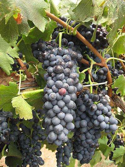 виноград Syrah Сира
