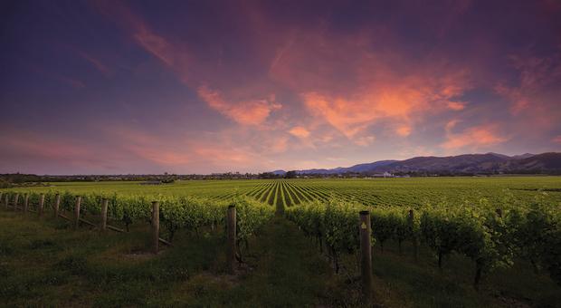 новозеландский виноградник