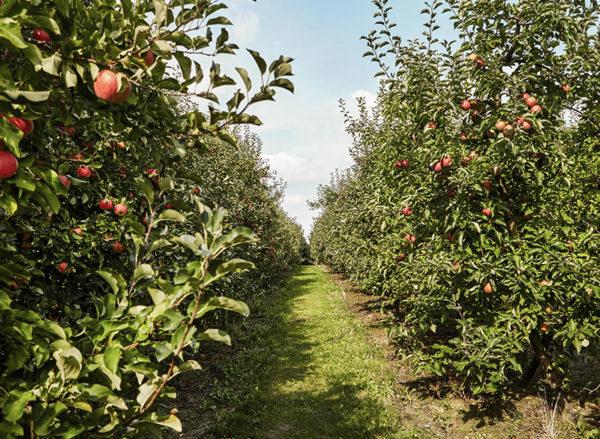 яблоневый сад во Франции