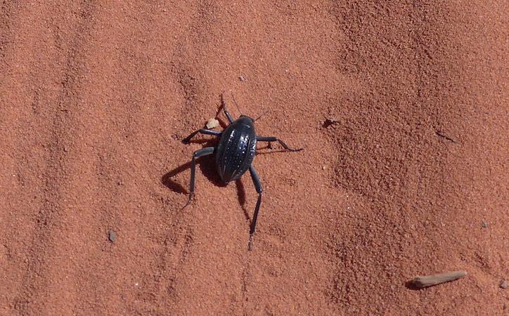 жук в пустыне